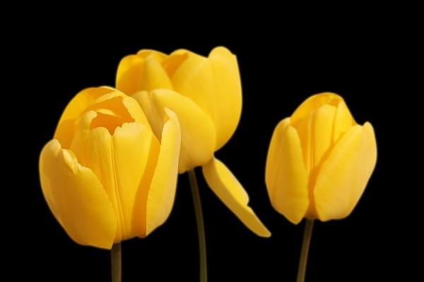 tulips-1364024_1280
